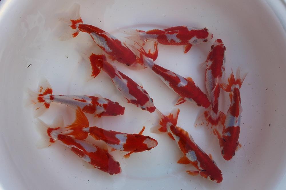 ☆三歳魚☆平賀和金☆極上個体☆